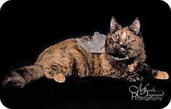 Domestic Mediumhair Cat for adoption in Chino Hills, California - Lila
