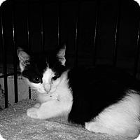 Adopt A Pet :: Munchkin - East Brunswick, NJ
