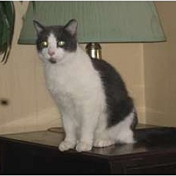 Photo 2 - Domestic Shorthair Cat for adoption in Toronto, Ontario - Stalker