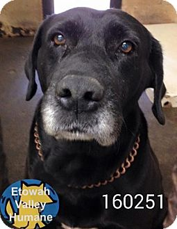 Labrador Retriever Dog for adoption in Bowie, Maryland - Sirius