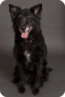 Border Collie/Australian Shepherd Mix Dog for adoption in Louisville, Kentucky - Baby
