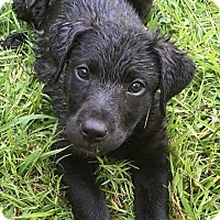 Adopt A Pet :: Lillie - Trenton, NJ