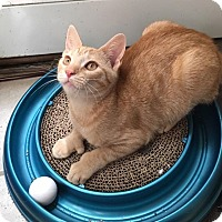 Domestic Shorthair Kitten for adoption in North Brunswick, New Jersey - Charlotte