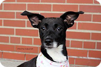 Labrador Retriever/Hound (Unknown Type) Mix Puppy for adoption in Flushing, Michigan - Lorraine