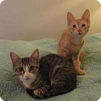 Domestic Shorthair Kitten for adoption in Bronx, New York - Frances