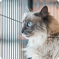Siamese Cat for adoption in New Orleans, Louisiana - Juniper