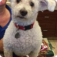 Bichon Frise Mix Dog for adoption in Scottsdale, Arizona - Stanley