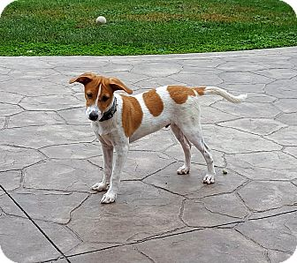 Jack Russell Terrier Mix Puppy for adoption in Middlesex, New Jersey - Chestnut