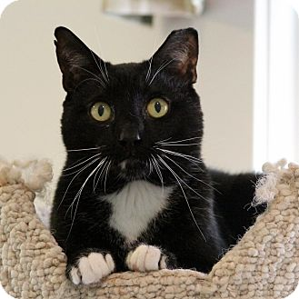 Domestic Shorthair Cat for adoption in Gaithersburg, Maryland - Prime