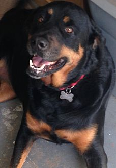 Rottweiler/German Shepherd Dog Mix Dog for adoption in Palm Bay, Florida - Lena