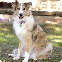 Adopt A Pet :: Pippi - Allen, TX