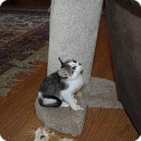 Adopt A Pet :: Lucas - St. Louis, MO