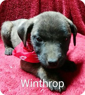 Boxer/Chow Chow Mix Puppy for adoption in Southington, Connecticut - Winthrop
