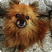 Adopt A Pet :: LeeLoo - Irvine, CA