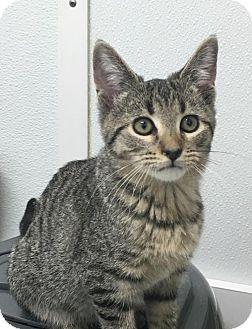 Domestic Shorthair Cat for adoption in Manteo, North Carolina - Billyboy