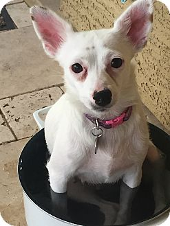 Chihuahua/Terrier (Unknown Type, Small) Mix Dog for adoption in Chandler, Arizona - Emmie
