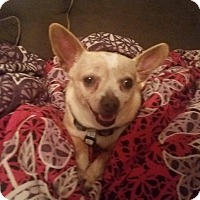 Adopt A Pet :: Lilly - Pottstown, PA