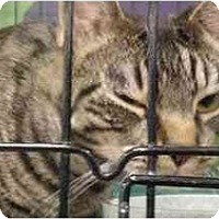 Domestic Shorthair Cat for adoption in Chino, California - Pepita