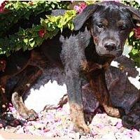 Adopt A Pet :: Loco - Gilbert, AZ
