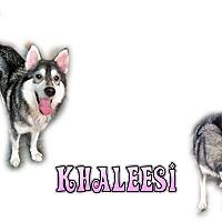 Adopt A Pet :: Khaleesi - Seminole, FL