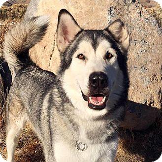 Alaskan Malamute Mix Dog for adoption in Provo, Utah - Timber