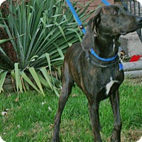Adopt A Pet :: Ameila - Baden, PA