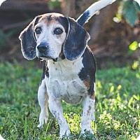 Adopt A Pet :: Bradley the Beagle - Miami, FL