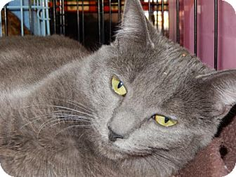 Russian Blue Cat for adoption in Walnut Creek, California - Gigi