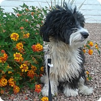 Adopt A Pet :: Domino - Las Vegas, NV