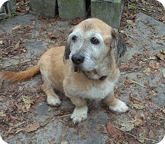 Petit Basset Griffon Vendeen Mix Dog for adoption in Loudoun County, Virginia - Mr. Shnookles