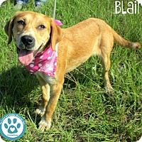 Adopt A Pet :: Blair - Kimberton, PA