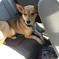 Adopt A Pet :: Duke - Fresno, CA