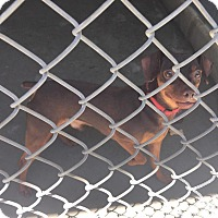 Adopt A Pet :: Hotdog - Bloomfield, CT