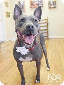 Pit Bull Terrier Mix Dog for adoption in Nashville, Tennessee - Zeva