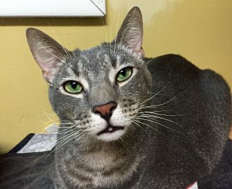 Domestic Shorthair Cat for adoption in Wilmington, Delaware - Scar