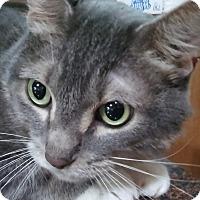 Domestic Shorthair Cat for adoption in Witter, Arkansas - Gravy