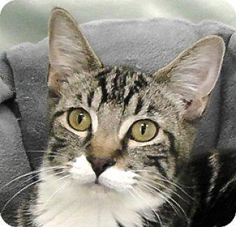 Domestic Shorthair Kitten for adoption in Redondo Beach, California - Bootsie