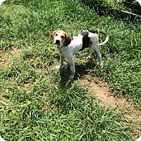 Adopt A Pet :: Lydia - Hohenwald, TN