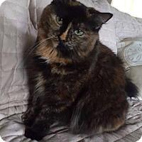 Domestic Mediumhair Cat for adoption in Hinesville, Georgia - Hallie