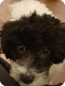 Poodle (Toy or Tea Cup) Puppy for adoption in Alpharetta, Georgia - Stella