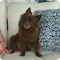 Adopt A Pet :: Tootsie - conroe, TX