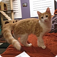 Domestic Mediumhair Kitten for adoption in Mississauga, Ontario, Ontario - Fizzgig