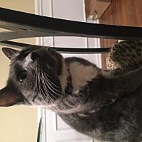 Manx Cat for adoption in Liberty, North Carolina - Addison - NC