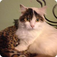 Adopt A Pet :: Chanel - Bridgeton, MO
