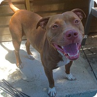 American Staffordshire Terrier/Staffordshire Bull Terrier Mix Dog for adoption in Santa Ana, California - Camille