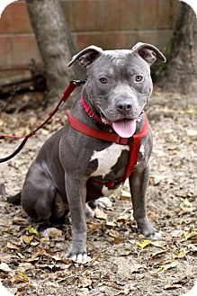 Pit Bull Terrier Mix Dog for adoption in Pensacola, Florida - Fischer