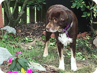 Labrador Retriever Mix Dog for adoption in Summerville, South Carolina - Brownie