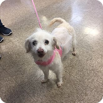 Poodle (Miniature)/Terrier (Unknown Type, Small) Mix Dog for adoption in Brea, California - Lucy