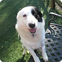 Adopt A Pet :: HANK - Corning, CA