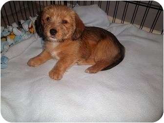 Dee adopted puppy naperville il beagle poodle miniature mix
